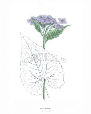 Revived Moon-Wort (Lunaria Rediviva)